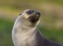 Antarctische Pelsrob, Antarctic Fur Seal, Arctocephalus gazella stock photos
