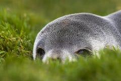 Antarctische Pelsrob, Antarctic Fur Seal, Arctocephalus gazella royalty free stock photography