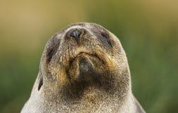 Antarctische Pelsrob, lobo marino antártico, gazella del Arctocephalus fotos de archivo libres de regalías