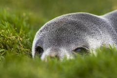 Antarctische Pelsrob, lobo marino antártico, gazella del Arctocephalus fotografía de archivo libre de regalías