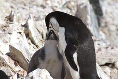 Antarctische pinguïn die zijn kuiken 1 voeden Royalty-vrije Stock Foto