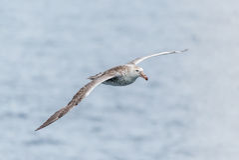 Antarctische reuzestormvogel die boven grijze oceaan glijden Royalty-vrije Stock Afbeeldingen