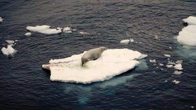 Antarctische Verbindingsleeuw op kleine ijsplank in de Oceaan van Antarctica royalty-vrije stock afbeelding