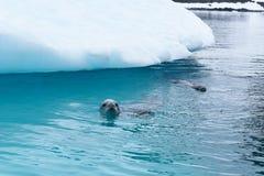 Antarktis en ung rätt för simning för krabbaätareskyddsremsa framme av ett isberg arkivbild