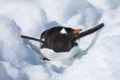 Antarktis Gentoo pingvin Arkivfoton