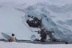 Antarktis - pingvin Arkivbilder