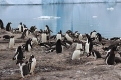 Antarktis - pingvin Arkivfoto