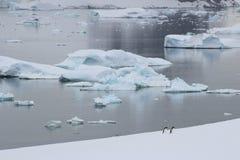 Antarktis - pingvin Fotografering för Bildbyråer