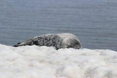 Antarktis - skyddsremsor Royaltyfria Foton