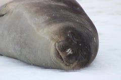 Antarktis - skyddsremsor Royaltyfri Foto