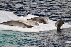 Antarktis - skyddsremsor på en isisflak Royaltyfri Foto