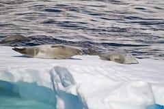 Antarktis - skyddsremsor på en isisflak Royaltyfria Bilder