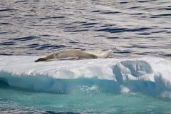 Antarktis - skyddsremsor som vilar på en isisflak Arkivfoto