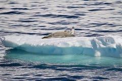 Antarktis - skyddsremsor som vilar på en isisflak Royaltyfri Fotografi