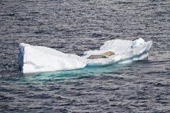 Antarktis - skyddsremsor som vilar på en isisflak Fotografering för Bildbyråer