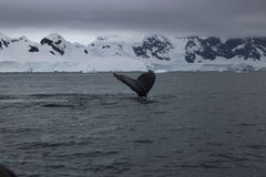 Antarktis - val Royaltyfri Foto