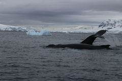 Antarktis - val Arkivfoto