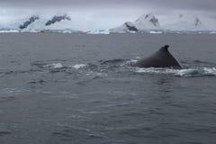 Antarktis - val Royaltyfri Fotografi