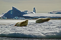 Antarktische Dichtungen Lizenzfreie Stockfotografie