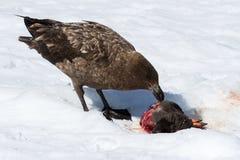 Antarktische oder braune Raubmöwe, die Pinguinküken isst Stockfotografie