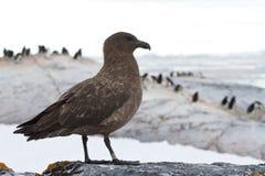 Antarktische oder braune Raubmöwe, die auf einem Felsen auf einem Hintergrund O steht Stockfotos