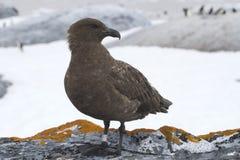 Antarktische Raubmöwe, die auf einem Felsen auf einem Hintergrund des Adelie steht Lizenzfreie Stockfotografie