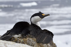 Antarktischer blauäugiger Kormoran, der auf einem Nest auf einem Hintergrund sitzt Stockbilder
