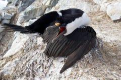 Antarktischer blauäugiger Kormoran, der auf einem Nest sitzt Stockfotografie