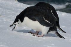 Antarktischer Pinguin. Lizenzfreie Stockfotos