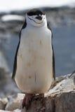 Antarktischer Pinguin, der auf Felsen mit Augen steht, schloss Stockbild