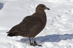 Antarktisches Raubmöweküken, das auf Schnee nahe der Verschachtelung steht Stockbild