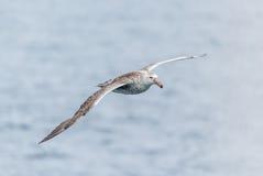 Antarktisk glidning för jätte- stormfågel ovanför grå färghavet Royaltyfria Bilder