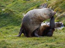 Antarktisk pälsskyddsremsa som lägger på gräs i södra Georgia Antarctica Fotografering för Bildbyråer