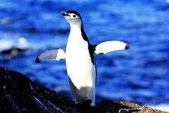 Antarktisk pingvin Royaltyfria Bilder