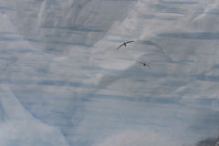 Antarktisk stormfågel med isbergbakgrunden Royaltyfri Foto