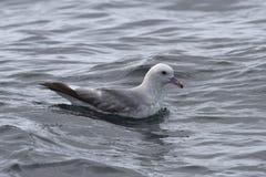 Antarktiska stormfåglar som sitter på water1en Arkivbild