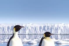 Antarktispingvin två arkivbilder