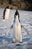 Antarktispingvin två Royaltyfri Foto