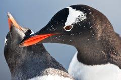 Antarktispingvin två Royaltyfri Bild