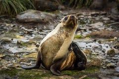 Antarktyczna futerkowa foka ono drapa w śniegu Obrazy Royalty Free