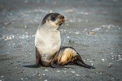 Antarktyczna futerkowa foka siedzi na piaskowatej plaży Zdjęcie Stock