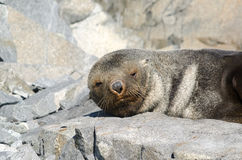 Antarktyczna Futerkowa foka snoozing Fotografia Stock