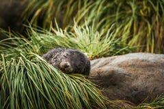 Antarktyczna futerkowej foki ciucia uśpiona w trawie Zdjęcia Royalty Free