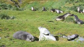 Antarktyczne futerkowe foki famaly w trawie zbiory wideo