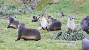 Antarktyczne futerkowe foki rodzinne w trawie zdjęcie wideo