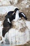 Antarktyczny błękitnooki kormoranu obsiadanie na skale Zdjęcie Royalty Free