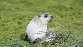 Antarktyczny futerkowej foki ciuci zakończenie w trawie zbiory