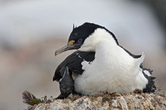 Antarktyczny kudły na gniazdeczku, Antarctica Fotografia Stock