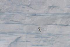 Antarktyczny petrel Fotografia Royalty Free