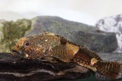 Antarktyczny slingshot który kłama na skałach Fotografia Royalty Free
